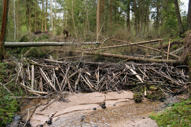 """""""Beaver dam"""" by Juliux - Own work. Licensed under CC BY-SA 3.0 via Wikimedia Commons"""
