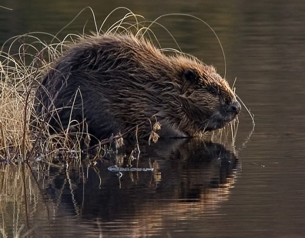 """Beaver pho34"" por Per Harald Olsen - User made.. Licenciado sob CC BY-SA 3.0, via Wikimedia Commons"