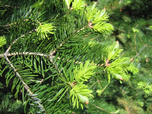 abies_holophylla_03